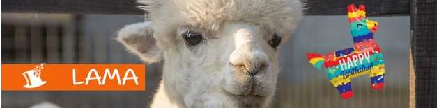 déco anniversaire Lama